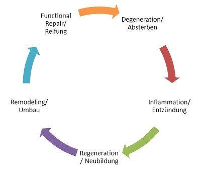 Regeneration nach Knieverletzung