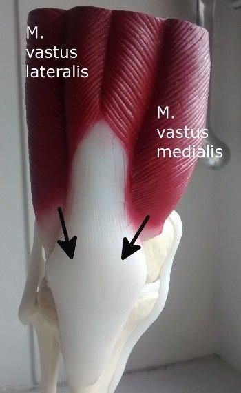 M. Vastus medialis trainieren