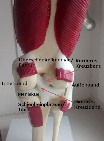 Kreuzbandverletzung verstehen - Aatomie des Kniegelenk